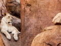 lion-in-rocks