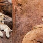 lion-in-rocks