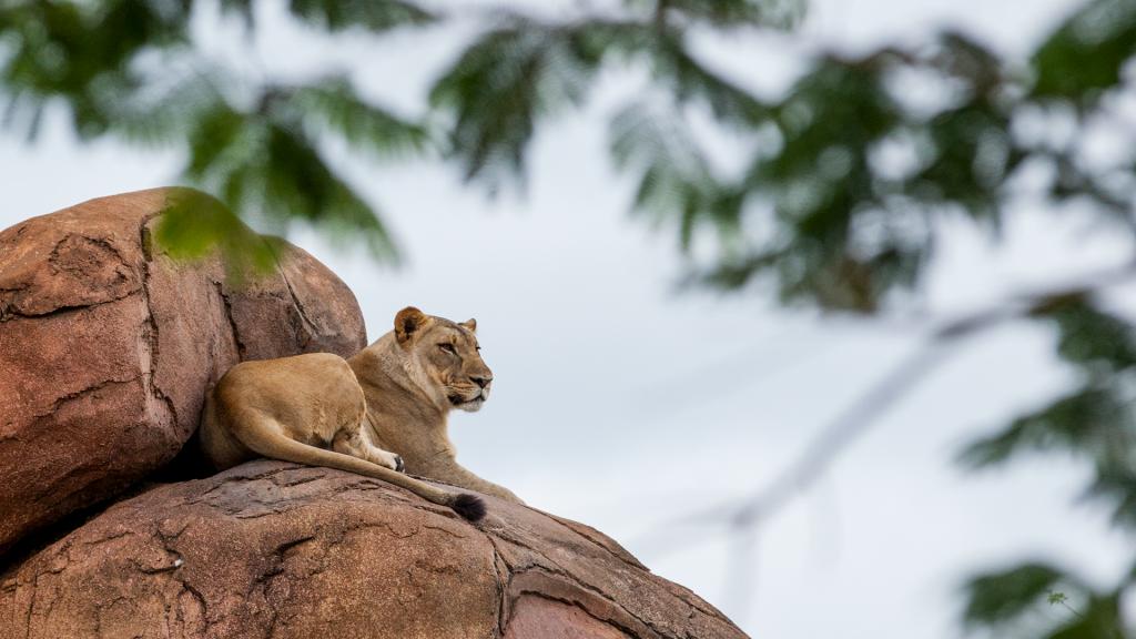 lion-on-rock